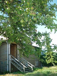 Final crop? This Mount Pleasant apple tree at 6th and Alberta is loaded with fruit.